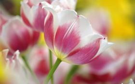 Картинка макро, цветы, розовый, весна, тюльпаны