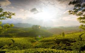 Обои солнце, природа, холмы, чай, балки, туманные, Холмы Муннара