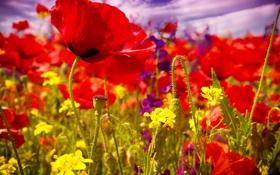 Обои лето, цветы, маки, цветение, field, poppy, маковое поле