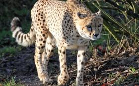 Обои гепард, прогулка, кошка