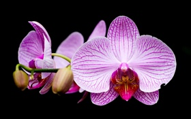 Обои черное, Орхидея, сиреневое