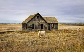 Картинка поле, пейзаж, дом, скот