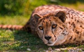 Обои Кошки, Cheetah, Дикая кошка, Lying, Animals