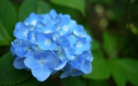 Обои зелень, цветок, листья, голубая, гортензия
