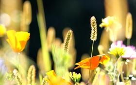 Обои лето, цветы, природа, колоски, эшштольция