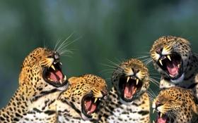 Обои кошки, пасть, леопард, клыки, рык