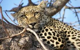 Обои взгляд, морда, дерево, отдых, хищник, леопард