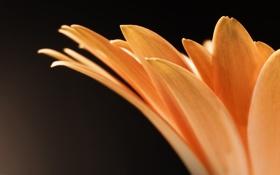 Обои макро, цветы, фото, лепестки