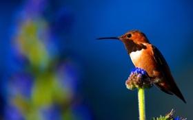 Обои природа, птица, клюв, колибри