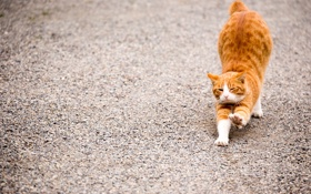 Обои кот, рыжий, животное, подтягивается