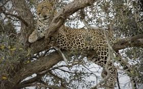 Картинка дерево, отдых, хищник, леопард, дикая кошка