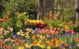 Картинка деревья, цветы, парк, Германия, тюльпаны, разноцветные, гиацинты