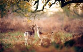 Обои осень, лес, дерево, маленькие, олени, Ноябрь, дубовое