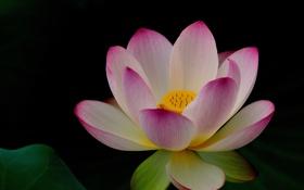 Обои цветок, природа, розовый, лотос
