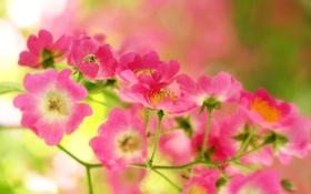 Обои зелень, цветы, ветка, розовые