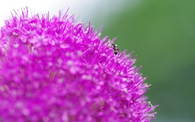 Обои цветок, макро, природа, муравей