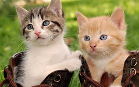 Картинка ботинки, котята, шнурки