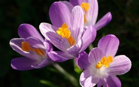 Обои макро, цветы, весна, первоцвет, Крокусы