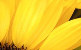 Обои цветок, макро, желтый, подсолнух, лепестки
