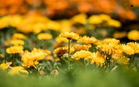 Обои цветы, желтые, клумба, боке, календула