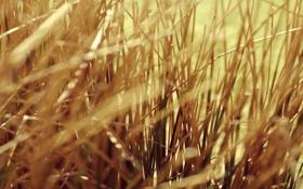 Картинка трава, макро, grass, yellow, желтая, сухая, macro
