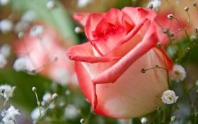Обои роза, гипсофила, макро, бутон