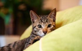Картинка кот, взгляд, морда, котенок, лежа