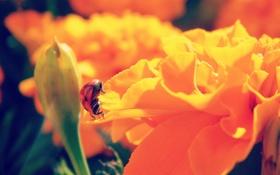 Обои лето, макро, цветы, оранжевый, божья коровка, ярко