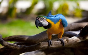Картинка ветка, попугай, ара
