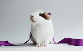 Картинка морская свинка, фиолетовая, лента, белая, белый фон