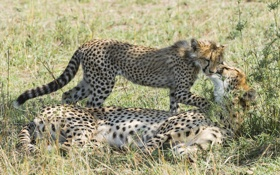 Картинка котёнок, мать, гепард, ласка, семья