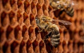 Обои макро, соты, пчёлы