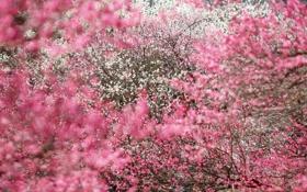 Картинка деревья, цветы, лепестки, красиво, розовые, белые, pink