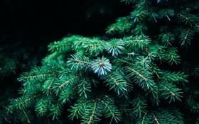 Картинка иголки, ветки, дерево, елка, зеленая