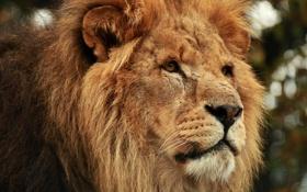Обои head, leon, feline