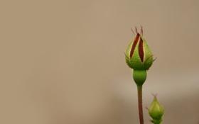 Картинка зелень, цветок, макро, роза, минимализм, фокус, бутон
