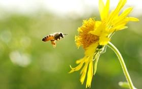 Обои цветок, желтый, пчела, в полете