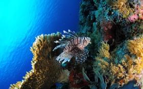 Обои Крылатки, fish, кораллы, море, рыбы, sea, coral