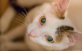 Картинка кошка, глаза, взгляд, морда