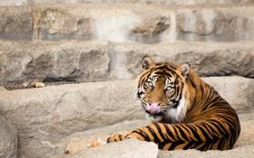 Обои язык, кошка, взгляд, тигр, суматранский