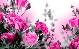 Обои бутоны, розы, цветы, листики