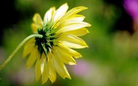 Обои цветочек, желтый, wallpaper, background, полноэкранные, лепестки, fullscreen