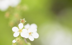 Картинка белый, цветок, макро, зеленый, фон, минимализм, весна
