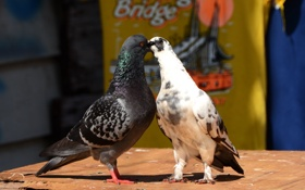 Картинка природа, голуби, лето, птицы, пара