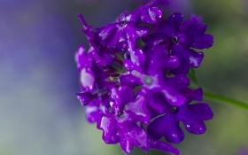 Обои цветок, фиолетовый, вода, капли, макро, растение, лепестки