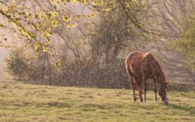 Обои природа, дождь, конь