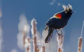 Обои зима, птица, холод, краснокрылый черный дрозд, камыш