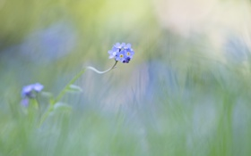 Картинка цветы, фон, голубые, незабудка
