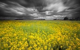 Картинка поле, небо, рапс, серые тучки