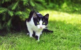 Обои трава, кот, взгляд, ель